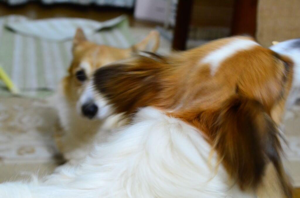 まとめ 人のくしゃみに吠える犬は見ていてかわいいし、いい運動になるのでしつけはしません