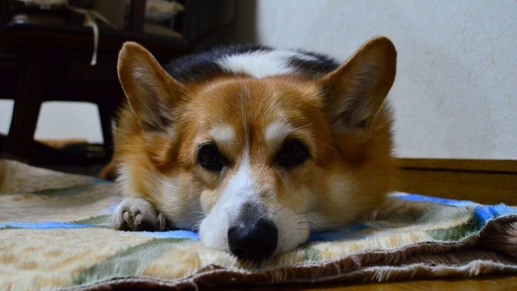 犬が突然キャインと鳴く!ほふく前進や腹痛で悲鳴をあげる急性膵炎の症状や治療法まとめ