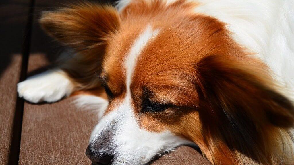 犬のフィラリア症!愛犬がかかった原因や予防時期、薬の種類まとめ