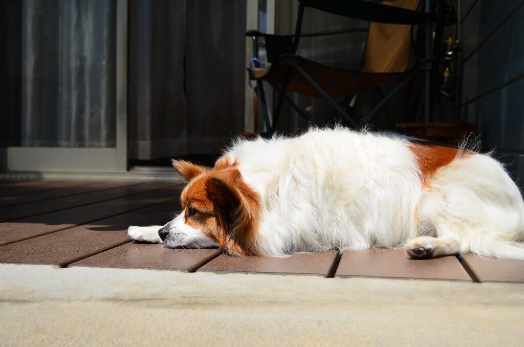 犬の熱中症の応急処置はどうしたらいい?