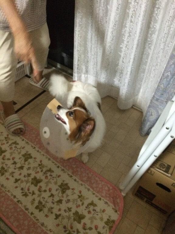 犬の急性湿性皮膚炎(ホットスポット)の原因・症状は?こんな時は要注意です!