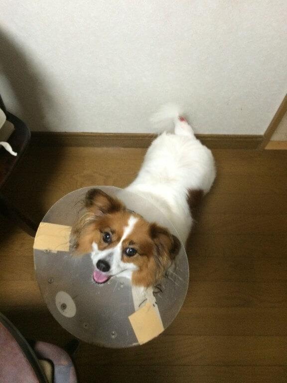 犬のホットスポット(急性湿性皮膚炎)とは?