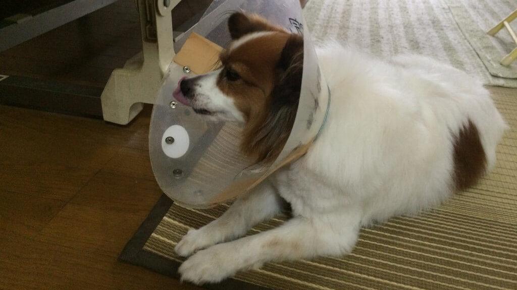 犬がホットスポットに!尻尾を噛んで血だらけになった原因に症状と治療法まとめ