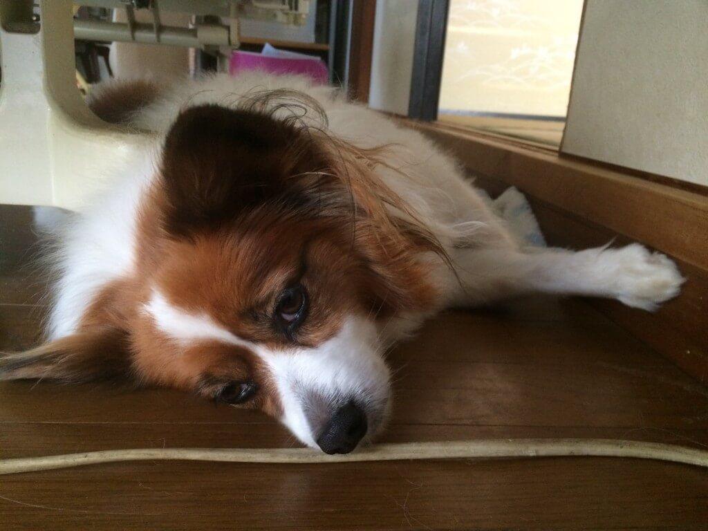 犬の前十字靭帯断裂の治療法や外科手術の方法、手術費
