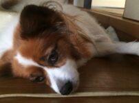 根尖膿瘍とは?愛犬が手術中に抜歯!?歯磨きをしないとなる怖い病気まとめ