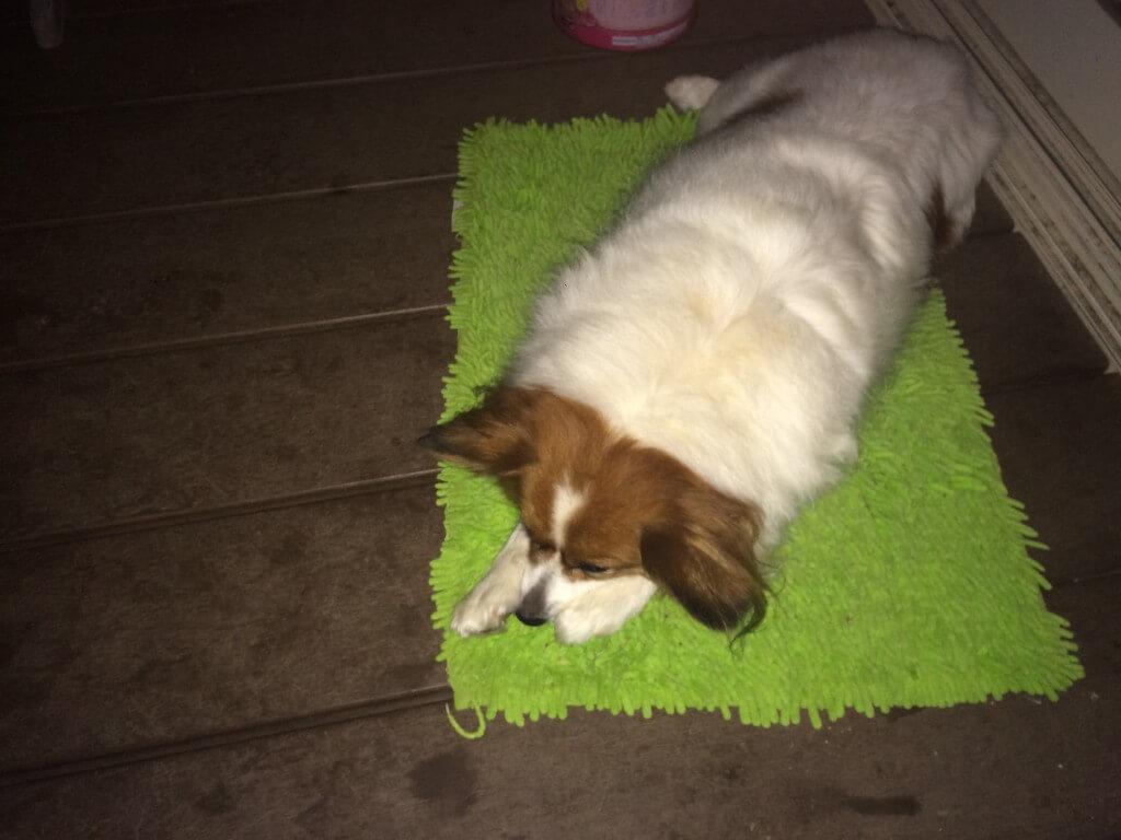 愛犬の足がまたびっこ・けんけん状態で膝蓋骨脱臼から前十字靭帯断裂になった?