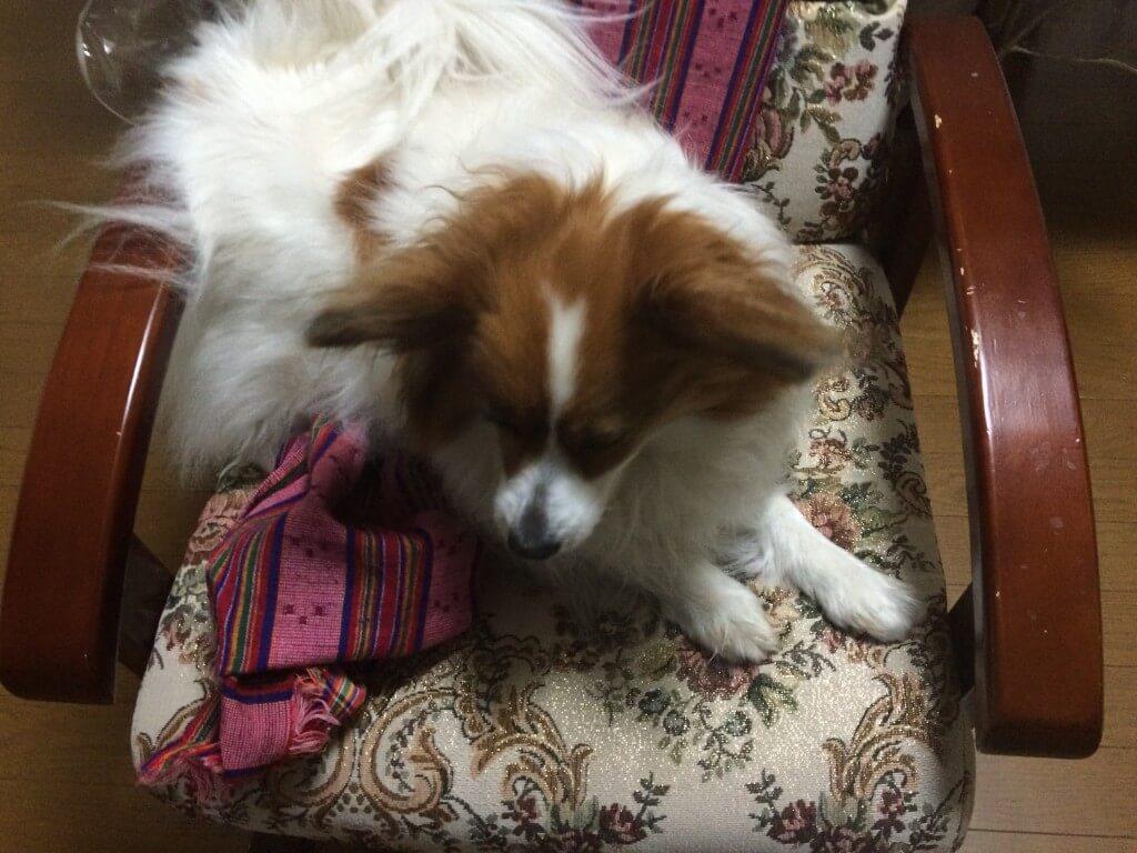 犬の足がびっこ・けんけん状態になる前十字靭帯断裂、損傷とは?
