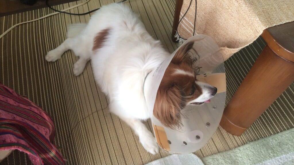 犬の後ろ足がケンケン状態に?元気な犬ほどなりやすい膝蓋骨脱臼の原因や治療法とは?