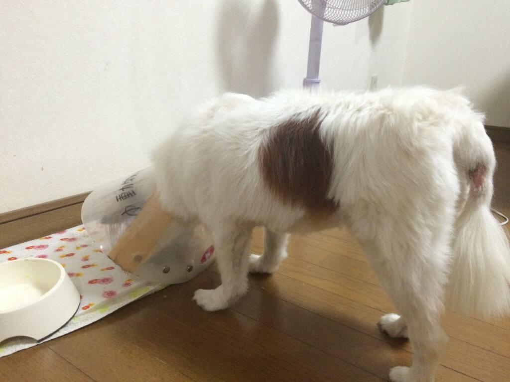 突然犬の後ろ足がケンケン状態で膝蓋骨脱臼(しつがいこつだっきゅう)になった