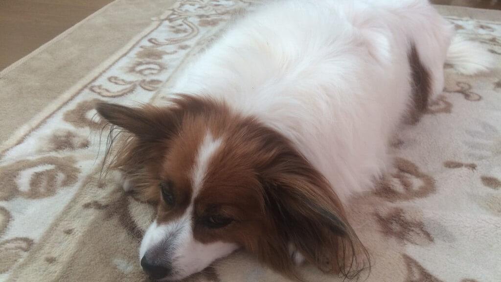 愛犬が前十字靭帯損傷・断裂?治療法や手術とリハビリなどまとめ