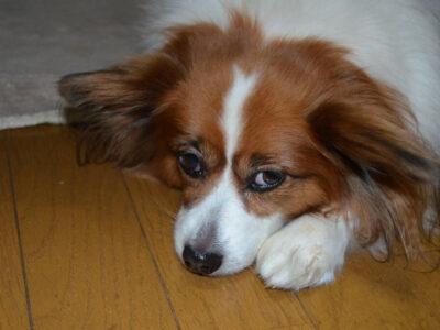 犬が針金を食べちゃったけど大丈夫?絶対に知っておきたい注意点や原因と対処法のまとめです