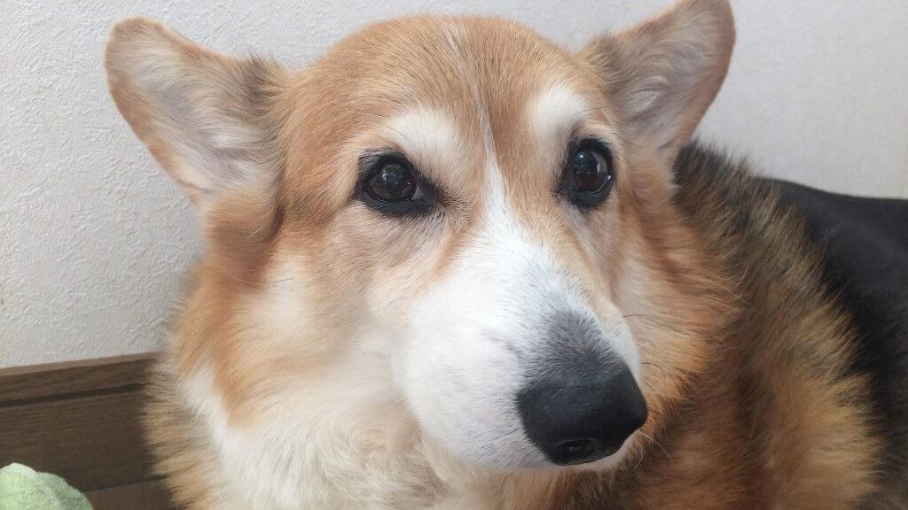 犬の花粉症とは?愛犬がくしゃみばかりしているけど大丈夫?症状や対策まとめ