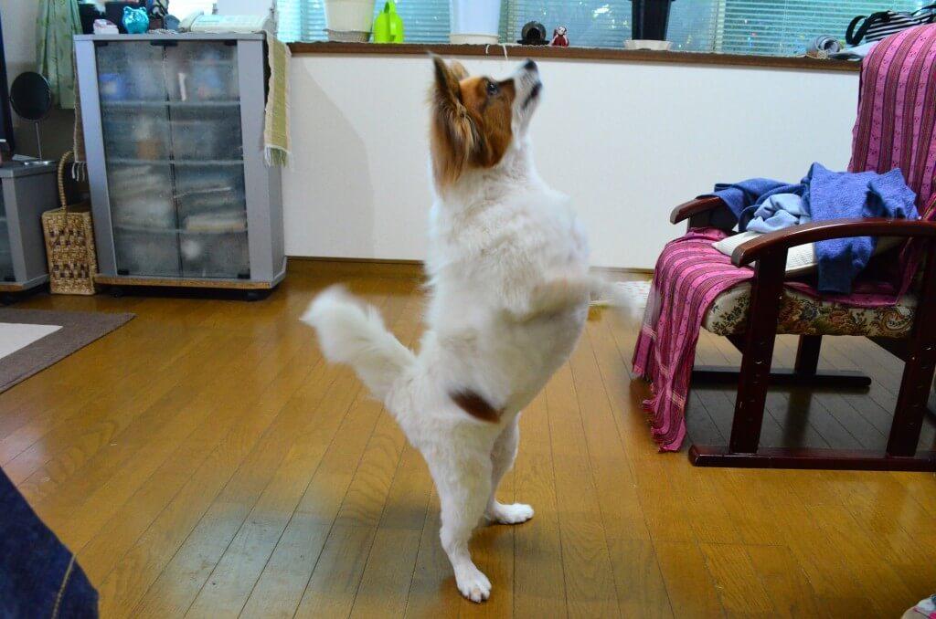 まとめ パピヨンはしっかり運動してしつけをして、体毛の手入れをして凛々しくね
