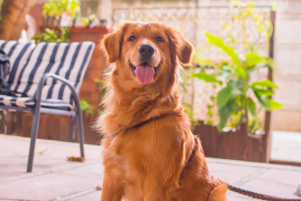 ゴールデンレトリバーってどんな犬?