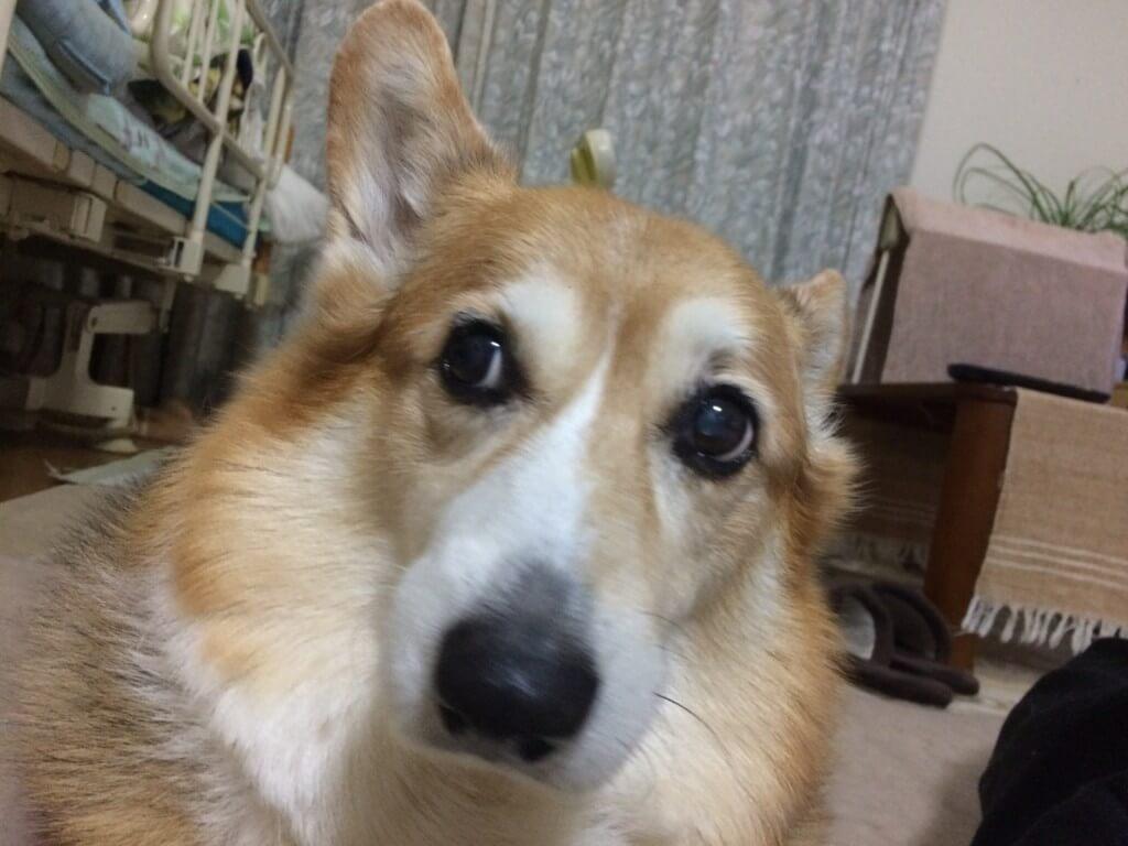 ウエルッシュコーギーの海(カイ)くんも大きな病気の後は、老犬で足腰と耳が悪くなった?痴呆もきたかな?