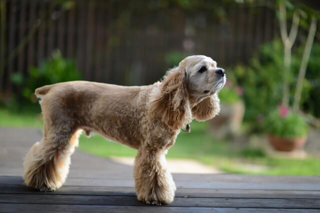アメリカンコッカースパニエルはどんな犬?