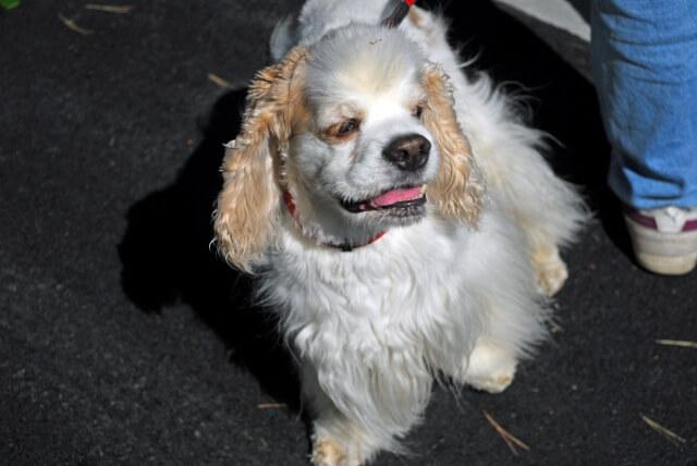 まとめ アメリカンコッカースパニエルは室内犬として飼育しやすい犬種です