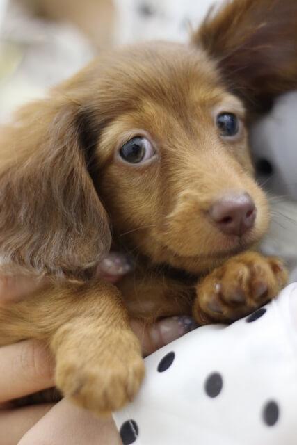 ミニチュアダックスフンドはどんな犬?