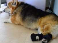 犬のナックリングとは?愛犬が後ろ足をひきずって歩くからナックルンを試しました結果は?