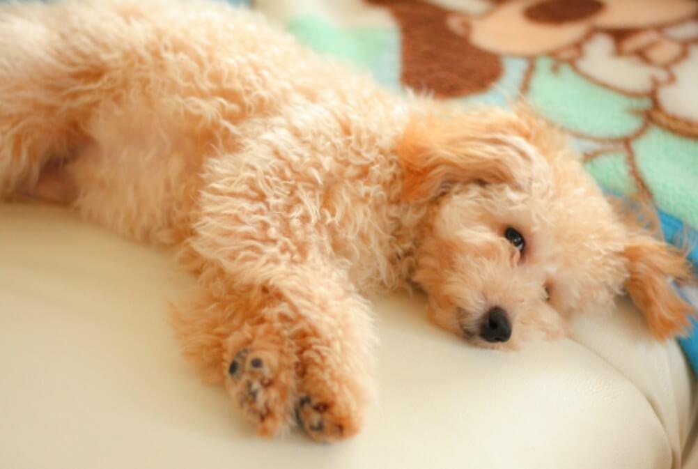 まとめ トイプードルは人気No1の犬種ですが、毛並みのお手入れをしっかりしてあげましょう