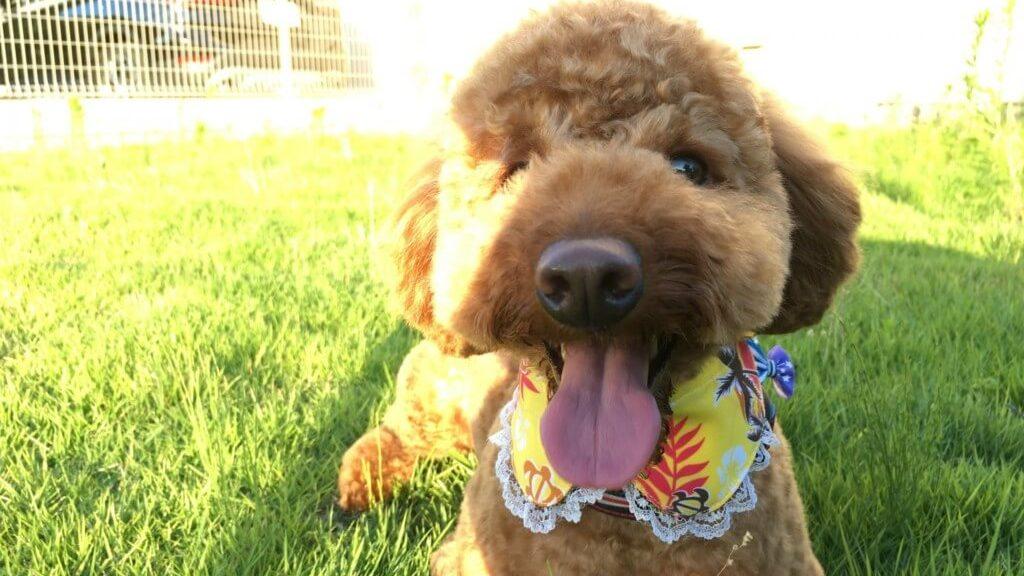 ミックス犬も多いトイプードルのお散歩や飼い方は?意外としらない種類や性格に寿命まとめ