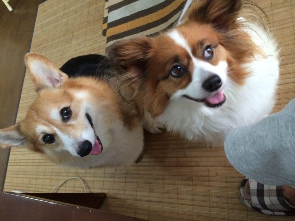 まとめ 愛犬のウェルシュコーギーのカイ(海)くん、今までありがとう。大好きだよ