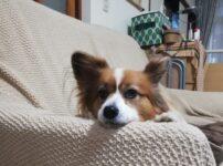 老犬になって夜泣き?前の家の飼い主さんが獣医さんに相談した夜泣きの理由や対策まとめ