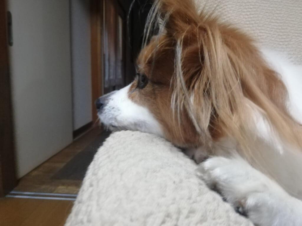 まとめ 老犬になると認知症で夜泣きをすることもあるので、近所迷惑など悩んでいる飼い主さんは対策をしてみましょう