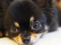 最も小さな犬種チワワの性格は?体の大きな犬にも臆せずに向かっていく種類や平均体重などまとめ