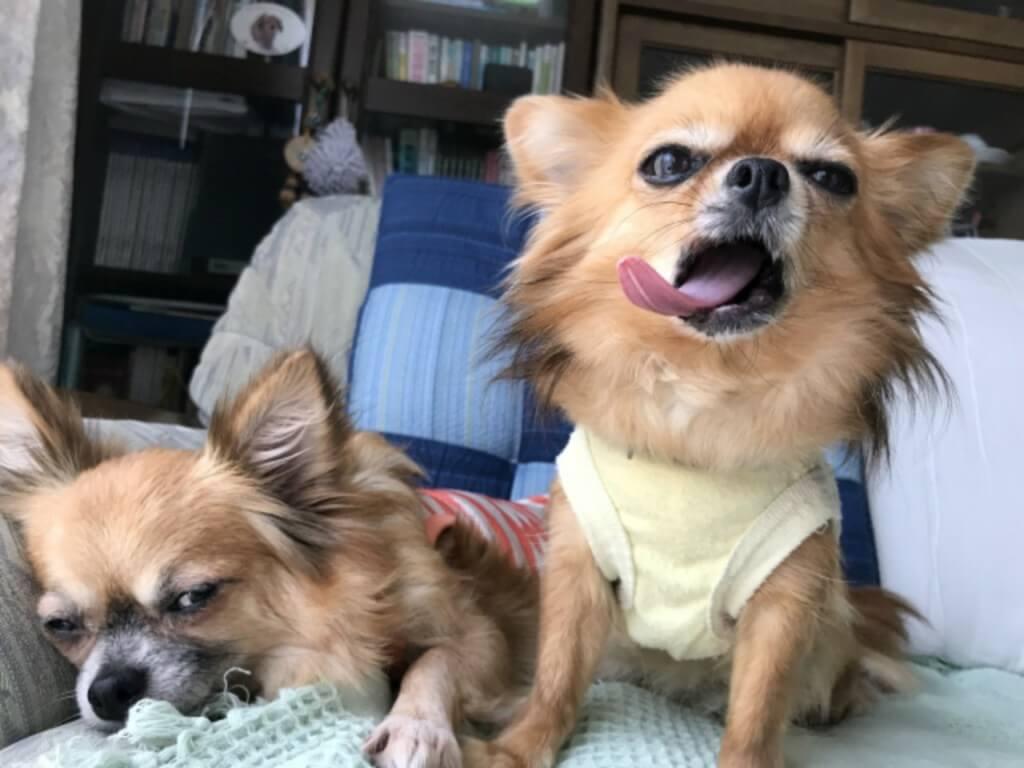 まとめ チワワは小型犬で犬の飼育が初めての人でも飼いやす犬種です
