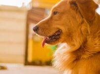 犬の急性白血病とは?友達のコーギーくんを突然襲った怖い症状や治療法まとめ