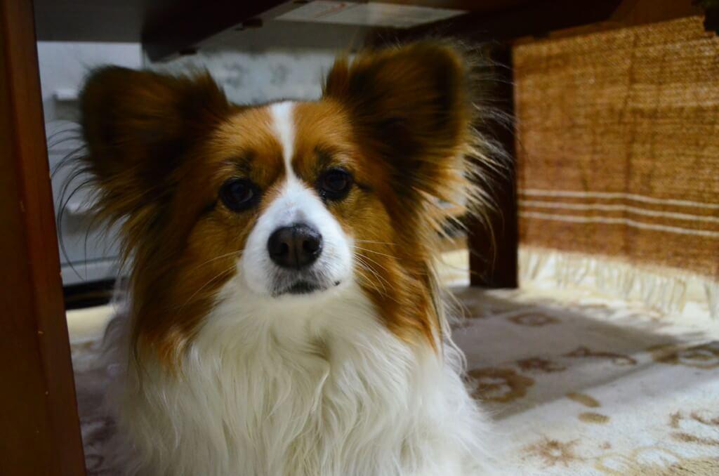 犬の白血病の症状や治療法