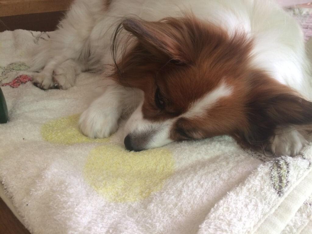 まとめ 犬の寝言はかわいいですが、苦しんでいたら病気の可能性もあります